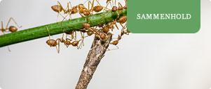 Myrer på en gren