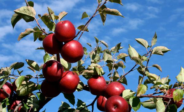 Find arbejdsglæde ved at vælge det smukkeste æble
